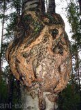 Tree burl of russian origin 03
